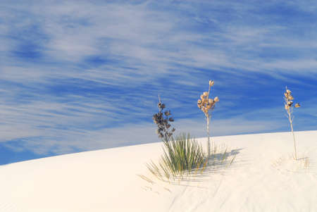 Cactus growing in the White Sand Dunes National Park in New Mexico photo