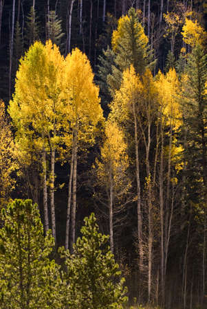 aspen leaf: Beautiful autumn setting in Vail, Colorado ski resort showing the orange colors of the aspen trees Stock Photo