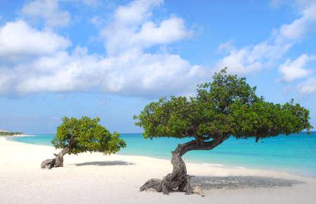 Divi Dive Trees on the shoreline of Eagle Beach in Aruba