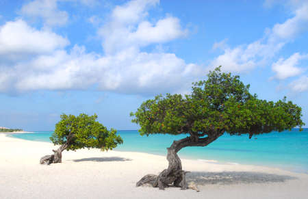 Divi Dive Trees on the shoreline of Eagle Beach in Aruba Stock Photo - 10025276