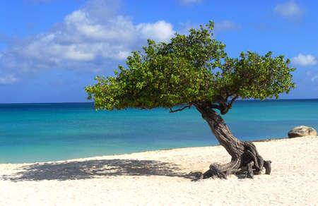Divi Dive Tree on the shoreline of Eagle Beach in Aruba Stock Photo - 10025278