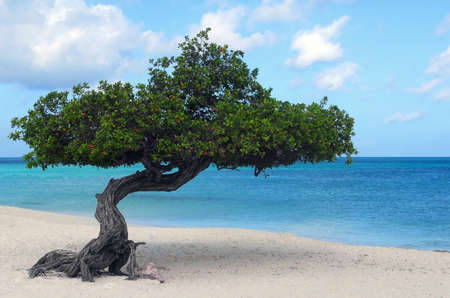 Divi Dive Tree on the shoreline of Eagle Beach in Aruba Stock Photo - 10025277