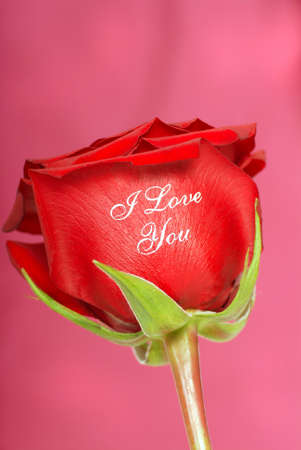 long stem roses: Fresh red rose with the words I Love You embossed on it