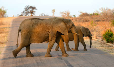 Two elephants crossing a road in Kruger National Park in South Africa under the glow of the afternoon sun.