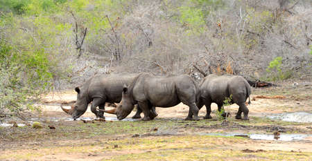 Three Rhinoceros drinking during a drought in Kruger National Park, South Africa