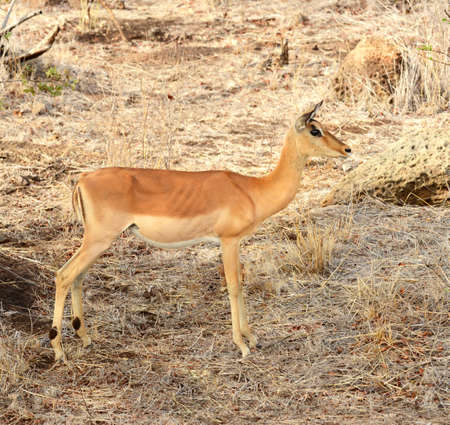 Female Impala grazing for food during a drought in Kruger National Park located in South Africa Stock Photo