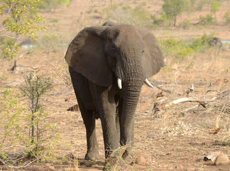 Elaphant looking for food during a drought in Kruger National Park located in South Africa.