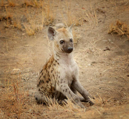 Young hyena pup in Kruger National Park in South Africa watching her surroundings