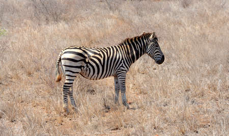 Zebra showing the severe scars from a wound received from being attacked by a preditor in the Kruger National Park in South Africa. Stock Photo