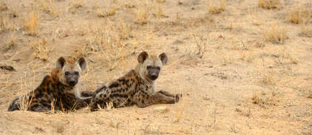 Two young hyenas resting in the heat of the day in Kruger National Park in South Africa Stock Photo