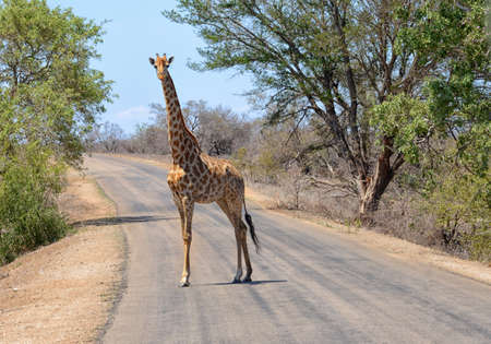 Giraffe in South Africas Kruger National Park walking across a road