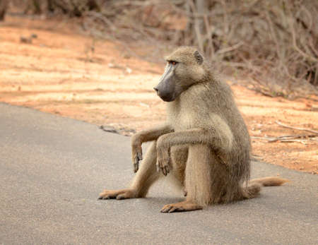 Large male baboon sitting on a road in Kruger National Park located in South Africa