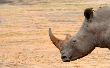 Closeup of a rhinoceros head in the arid region of Kruger National Park in South Africa