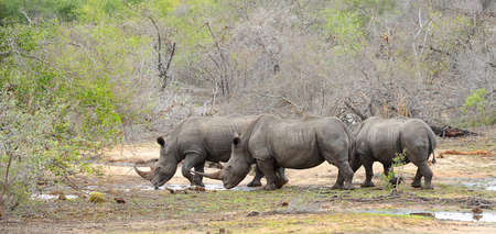 Three Rhinoceros looking for water during a drought in Kruger National Park in South Africa Stock Photo