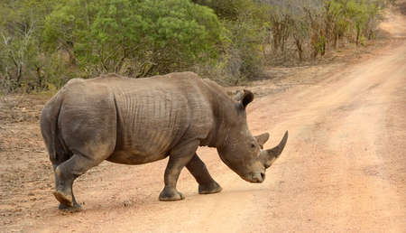 Larged Rhinoceros in Kruger National Park in South Africa whose horns are subject to poaching and making the animal endangered.