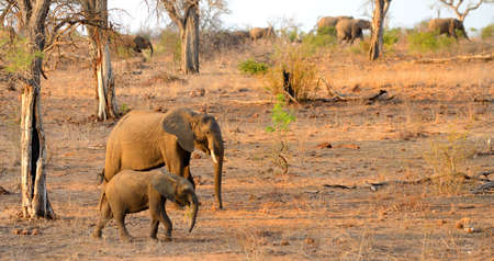 A mother and baby elephant walking within a herd in Kruger National Park in South Africa in the warm glow of the afternoon sun Stock Photo