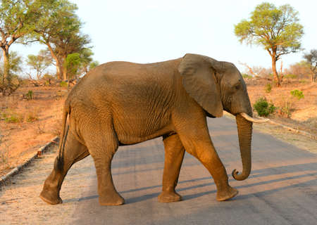 Lone elephant walking across a road in Kruger National Park in South Africa with the warm glow of the afternoon light