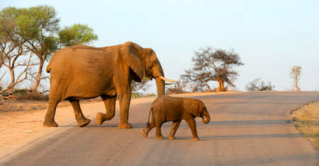 Mother and baby elephant walking across a road in the warm afternoon sun in Kruger National Park in South Africa.