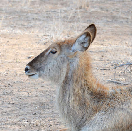 Female looking for food in the arid area of South Africa
