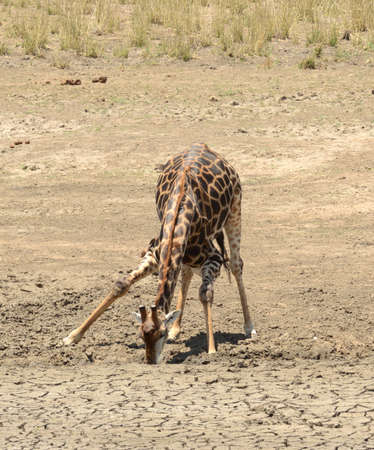 Giraffe trying to find water in the arid area of South Africa. Stock Photo