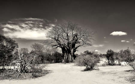 Sepia toned image of a very old African Baobab tree found in an arid region of South Africa