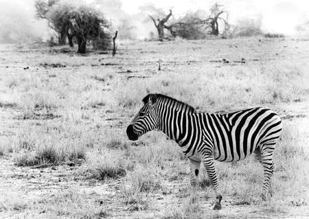 Black and white image of a Zebra taken against the dry arid background of the African savannah Stock Photo