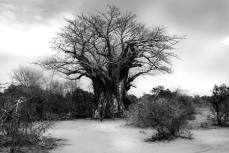 Black and white version of a Baobab tree in the African landscape of Kruger National Park Stockfoto