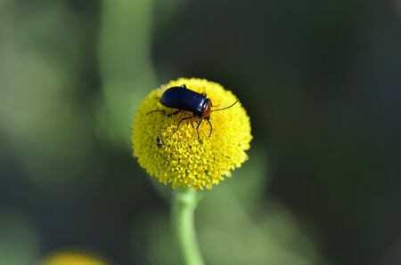 beetles on yellow ball-shaped flower