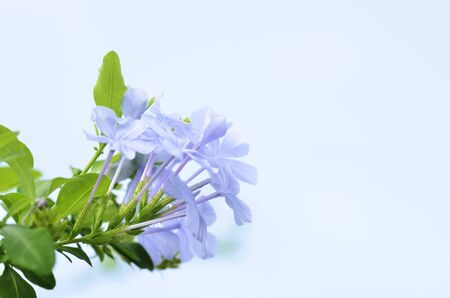 bouquet of violets on white background Stock Photo