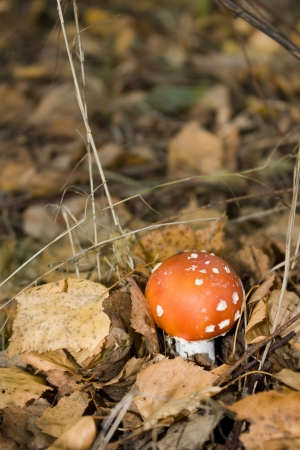 fly-agaric mushroom in the forest