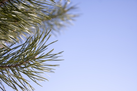 Branch of a coniferous tree with spring sky