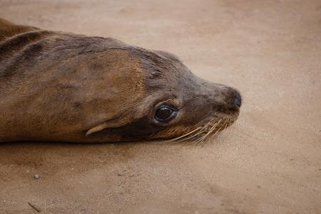sea lion: California Sea Lion Relaxing At The Beach Stock Photo