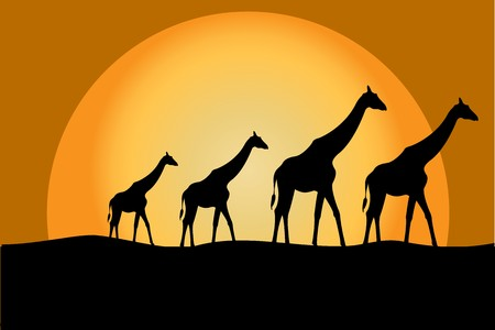 savana: Giraffes in savana