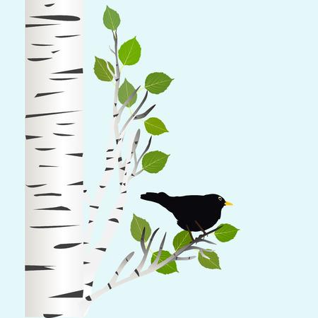 blackbird: Blackbird on a birch branch