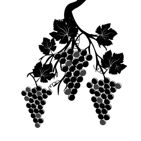 Grape clusters on the vine on white background