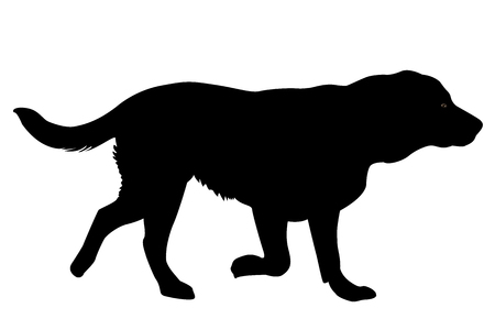 dog walking: Silhouette of a Golden retriever dog.