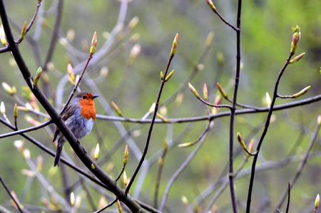 European robin on a tree branch