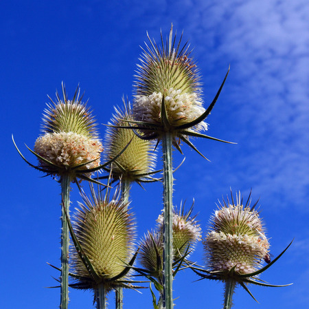 Dry Thistle flower close up on blue sky Stock Photo - 118575116