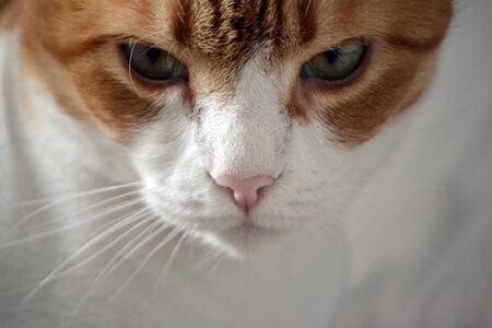 Portrait de Gingembre Tomcat. Vue de face