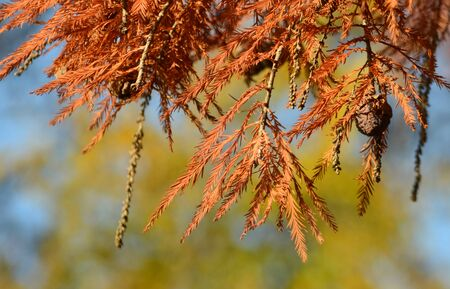 Cones of Bald Cypress (Taxodium distichum) with red autumn foliage on green background