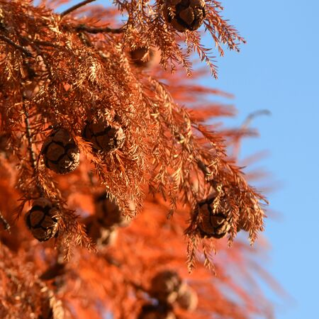Red cypress cones on blue sky background Stockfoto