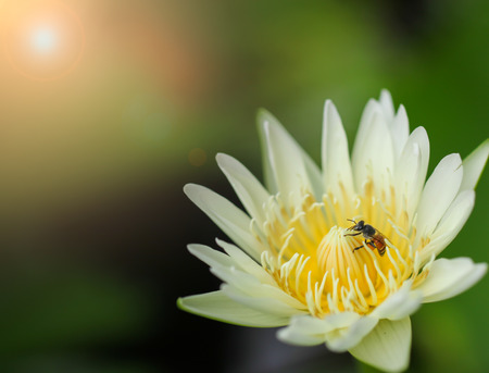 Yellow lotus And cute little bee