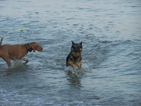 sheppard: Dogs Playing In Water