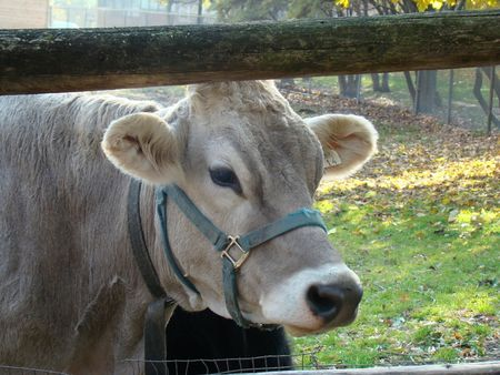 cow Imagens - 3824016