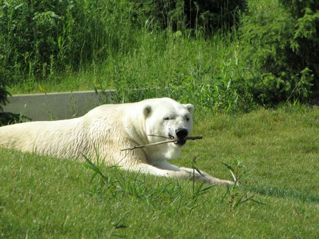 polar bear chewing a stick on a summer day Stock Photo