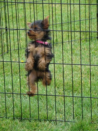 escape: Escape Artist cute yorkie is trying to climb out of his cage                        Stock Photo