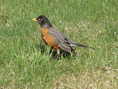 Robin Red breast bird Stock Photo - 7204287
