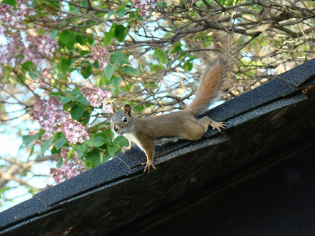 Chipmunk on roof top Stock Photo - 9429329