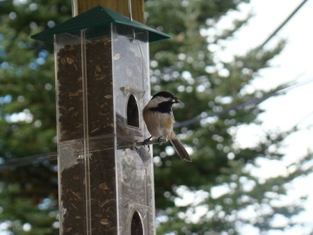 capped: Chickadee on feeder Stock Photo