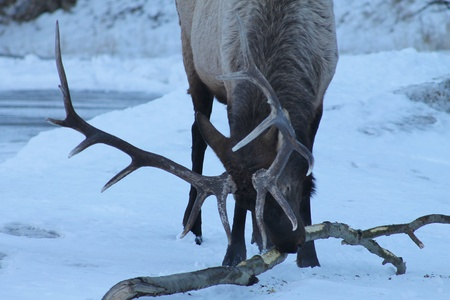 Large Elk Eating Bark